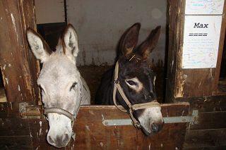 Der Röhlsche Hof - Bildungs- und Erlebnisbauernhof in Wallwitz in Sachsen-Anhalt - Unsere Tiere - Esel-2