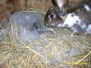 Der Röhlsche Hof - Bildungs- und Erlebnisbauernhof in Wallwitz in Sachsen-Anhalt - Unsere Tiere - Hasen-3