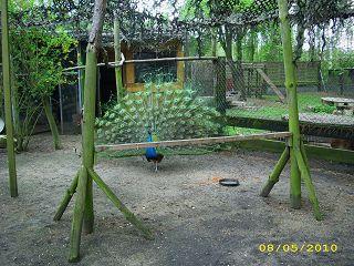Der Röhlsche Hof - Bildungs- und Erlebnisbauernhof in Wallwitz in Sachsen-Anhalt - Unsere Tiere - Pfauen-3
