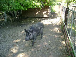 Der Röhlsche Hof - Bildungs- und Erlebnisbauernhof in Wallwitz in Sachsen-Anhalt - Unsere Tiere - Schwein-2