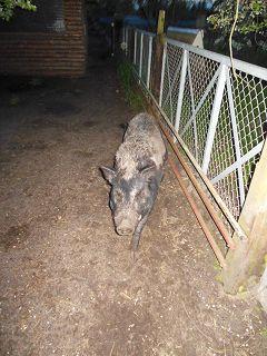 Der Röhlsche Hof - Bildungs- und Erlebnisbauernhof in Wallwitz in Sachsen-Anhalt - Unsere Tiere - Schwein-3