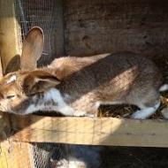 Der Röhlsche Hof - Bildungs- und Erlebnisbauernhof in Wallwitz in Sachsen-Anhalt - Unsere Tiere - Hasen-1