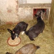 Der Röhlsche Hof - Bildungs- und Erlebnisbauernhof in Wallwitz in Sachsen-Anhalt - Unsere Tiere - Hasen-2